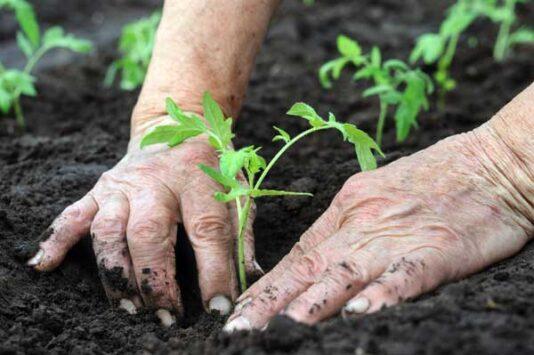 farm-planting-tomatoes